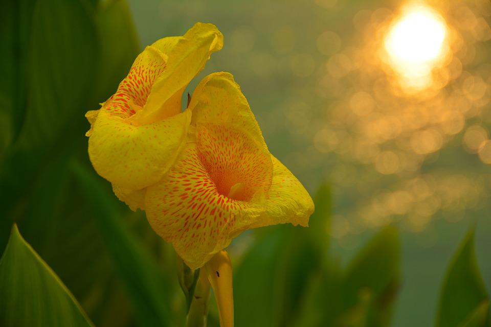 Canna, Flower, Orchid, Yellow, Nature, Petal, Plant