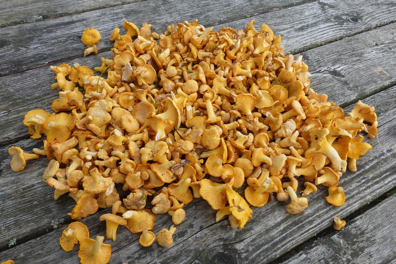 Photos of chanterelle mushrooms