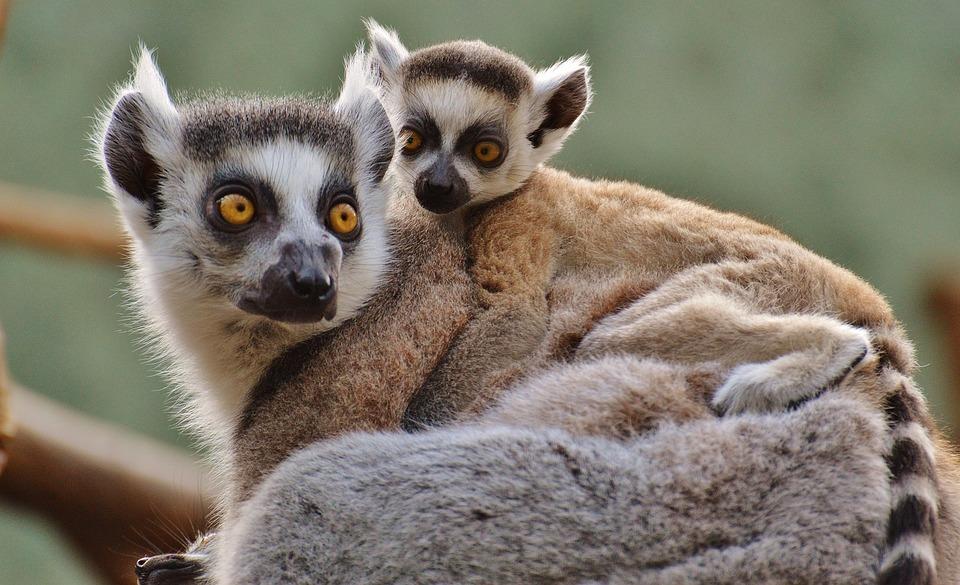 Free Photo Ape Lemur Animal World Zoo Mama Free