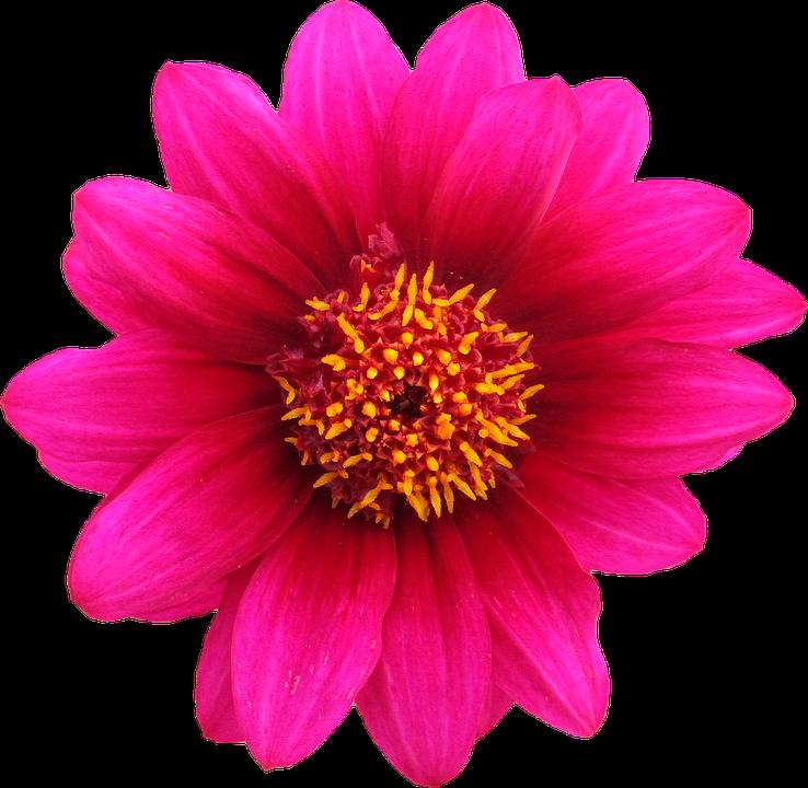 Fiori Png.Png Ritaglio Fiore Foto Gratis Su Pixabay
