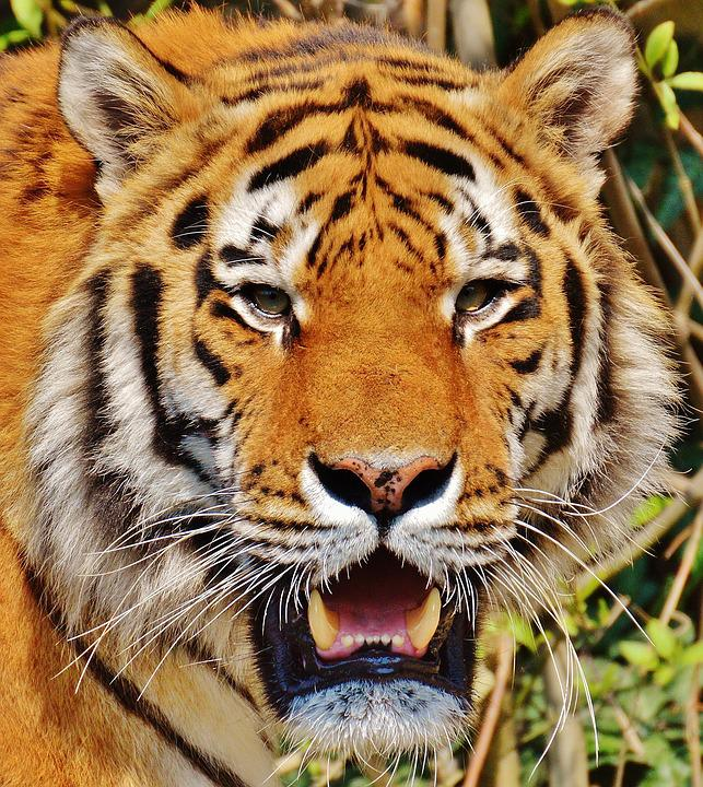 tiger predator fur 183 free photo on pixabay