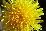 dandelion, common dandelion