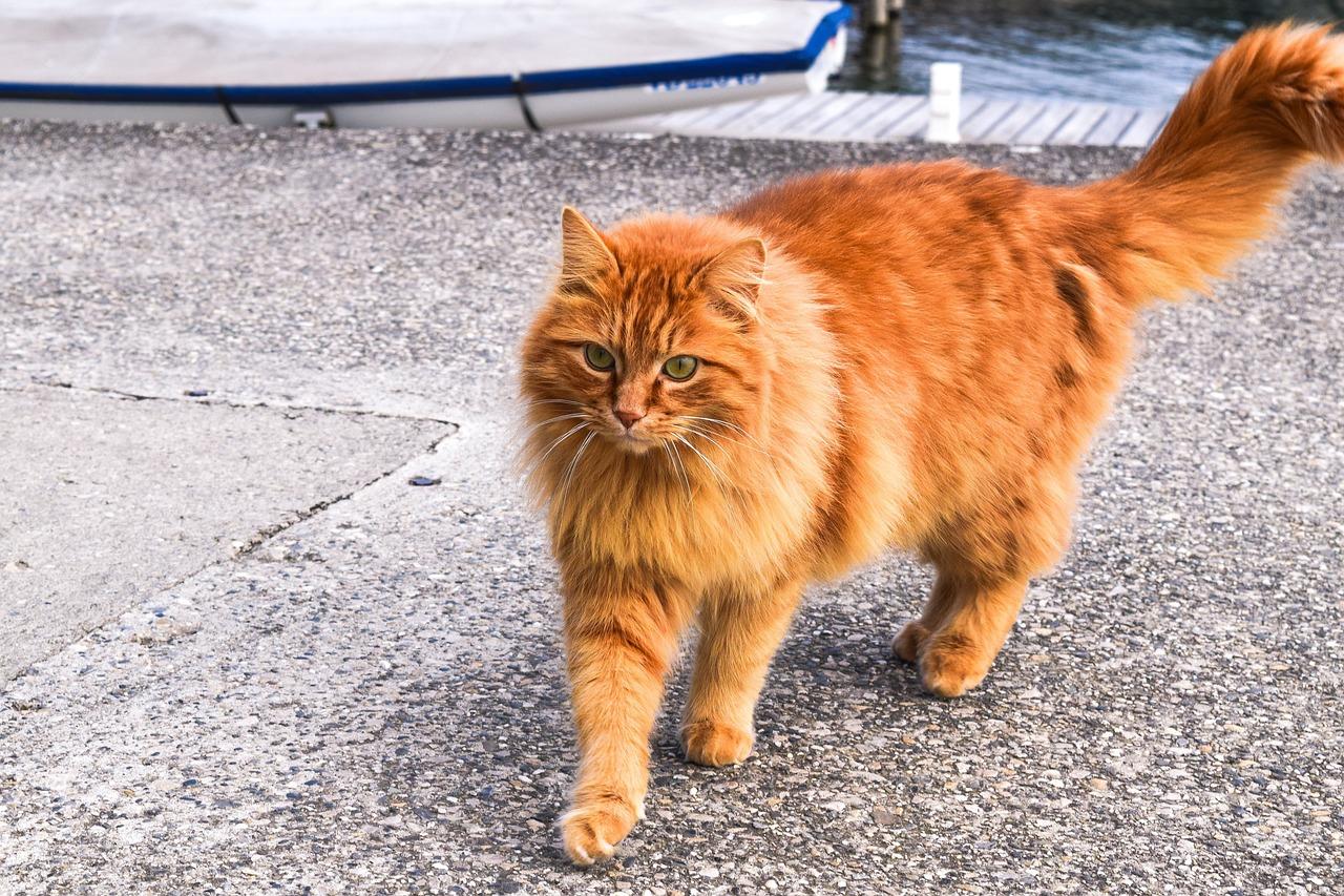 unspayed cat behavior