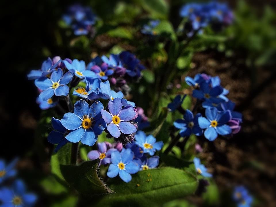photo gratuite fleur bleue fleur bleu printemps