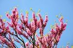 judas tree, spring, bloom