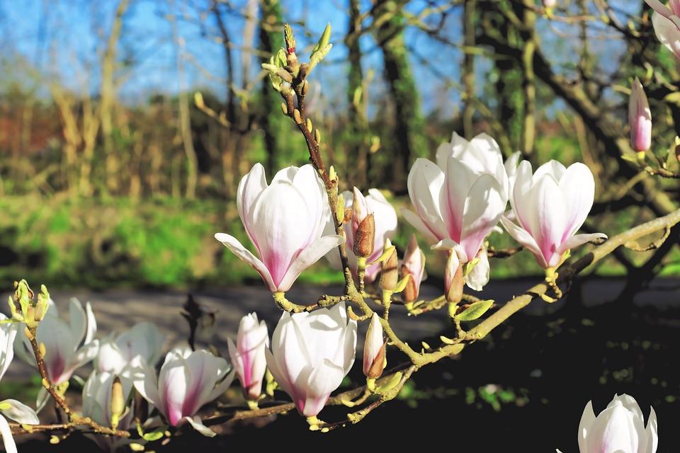 Passende Farbe Zu Magnolia : Kostenloses Foto Magnolie, Blüten, Frühling, Baum  Kostenloses