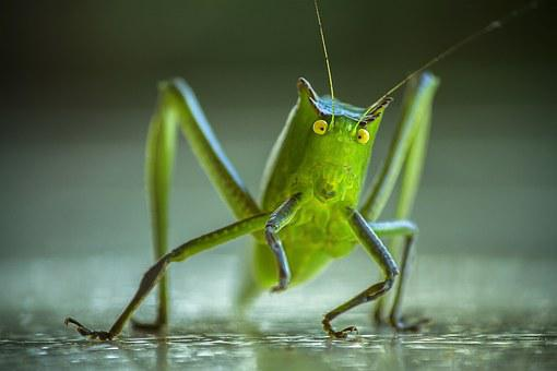 Cricket, Grasshopper, Katydid, Lobster