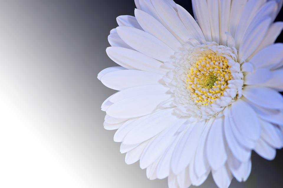 Gerbera images pixabay download free pictures gerbera flower blossom bloom petals mightylinksfo