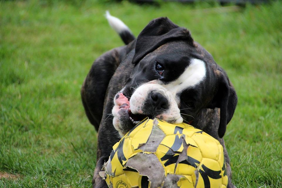 Foto gratis: Perro, Boxer, Blanco Y Negro - Imagen gratis