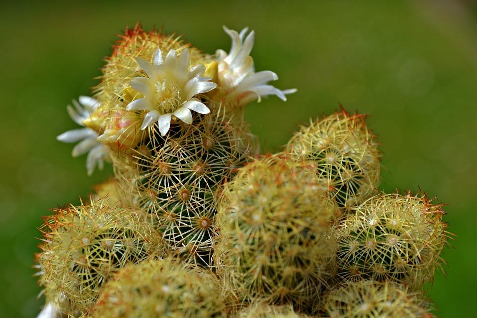 Cactus Flores De · Foto Gratis En Pixabay