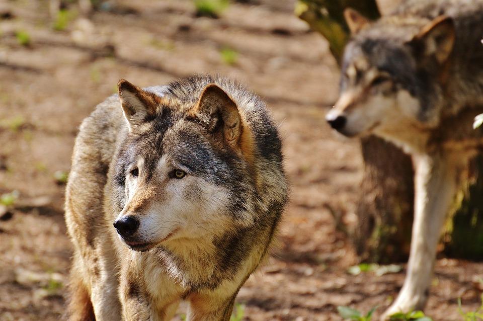Free Photo Wolf Wild Animal Predator Nature Free Image On Pixabay 1350014