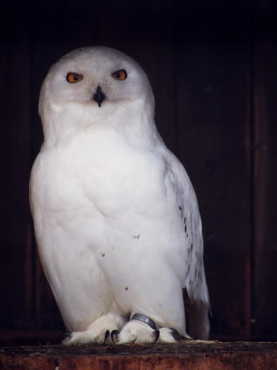 Image of: Barn Owl Owl Snowy Owl Nocturnal Bird Animal Enclosure Pixabay Owl Snowy Nocturnal Free Photo On Pixabay