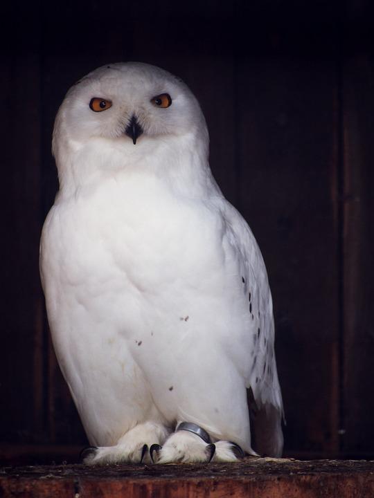 Image of: Barn Owl Owl Snowy Owl Nocturnal Bird Animal Enclosure Pixabay Owl Snowy Nocturnal Free Photo On Pixabay