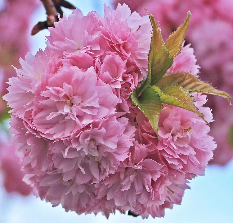 Japanische Kirschblüte Bilder · Pixabay · Kostenlose Bilder ...