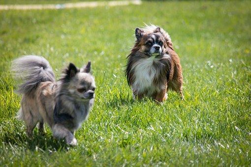Chihuahua, Dog, Chiwawa, Small
