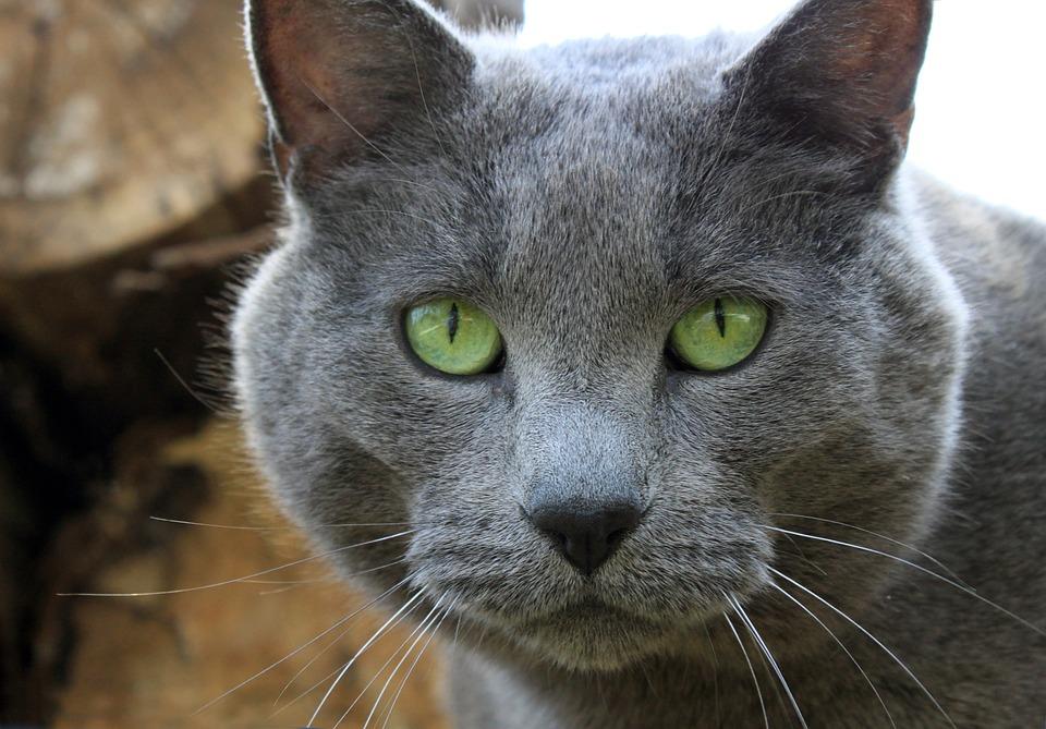 Gray Coat Green Eye Cat