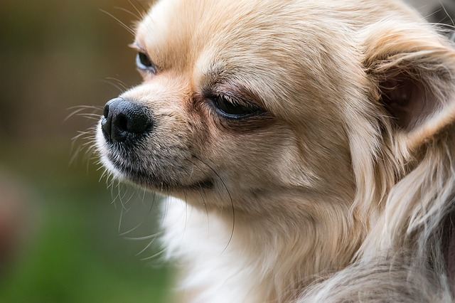 free photo chihuahua dog chiwawa small free image on pixabay 1351905. Black Bedroom Furniture Sets. Home Design Ideas