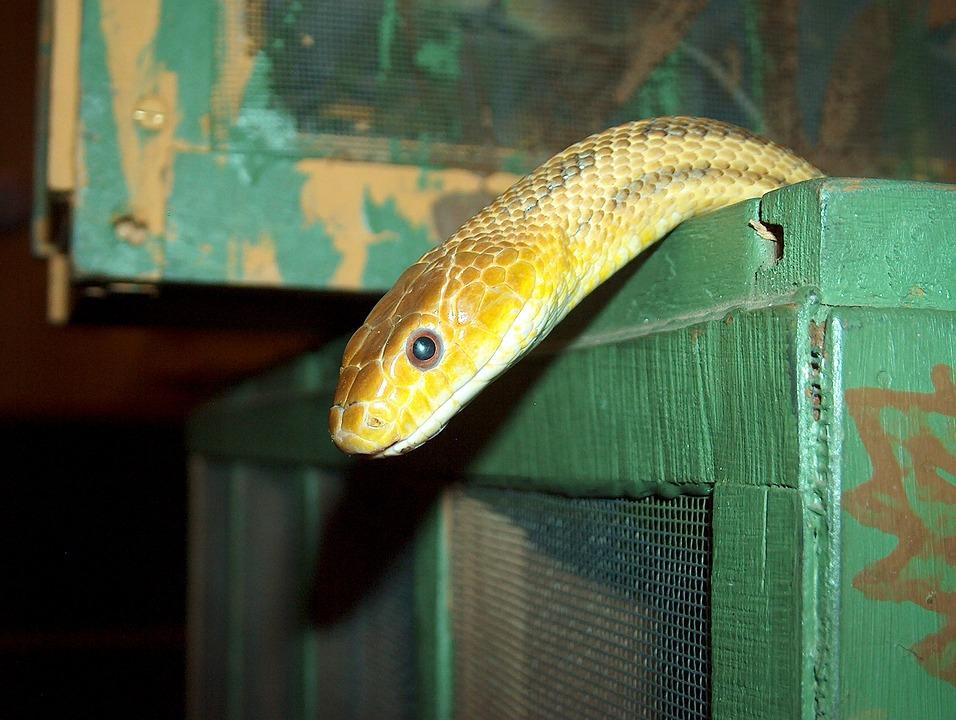 snake box american rat free photo on pixabay