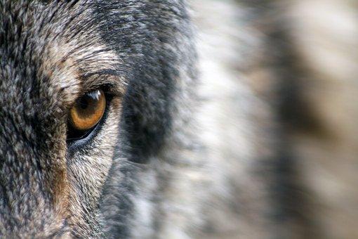 Wolf, Eye, Fur, Wild, Animal, Wildlife