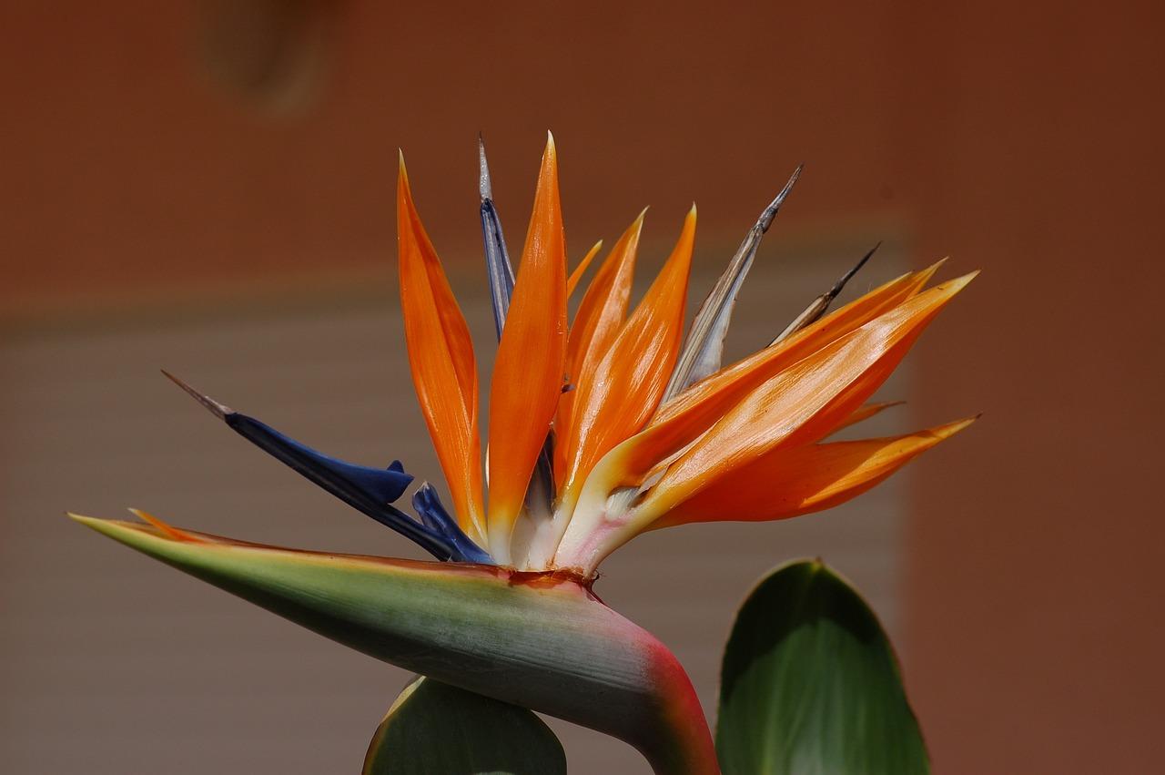 Стрелиции цветы фото