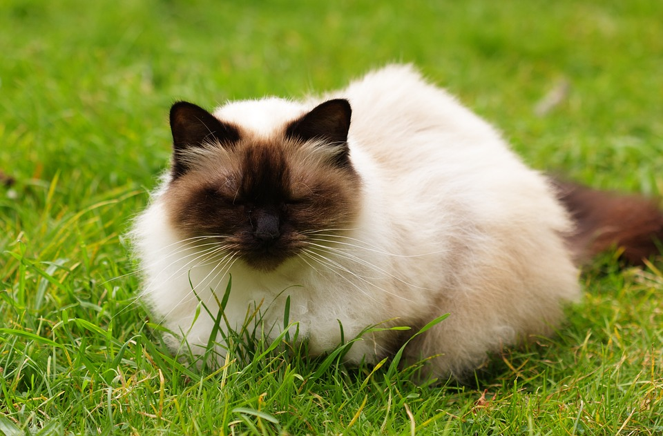how to cut a himalayan cats hair
