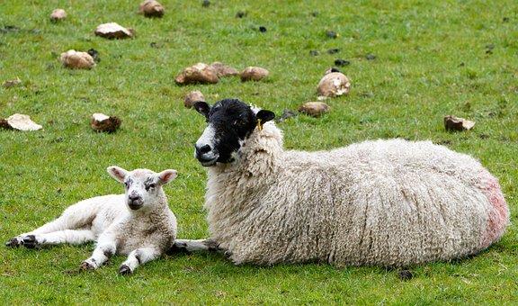 Sheep, Lamb, Ewe, Wool, Fleece Woolly