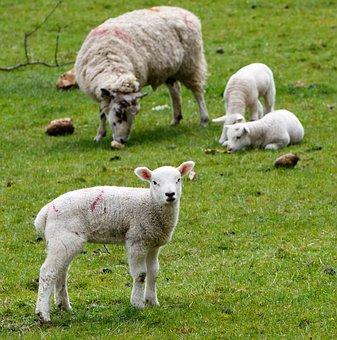 Lamb, Sheep, Wool, Farm, Grass, Nature