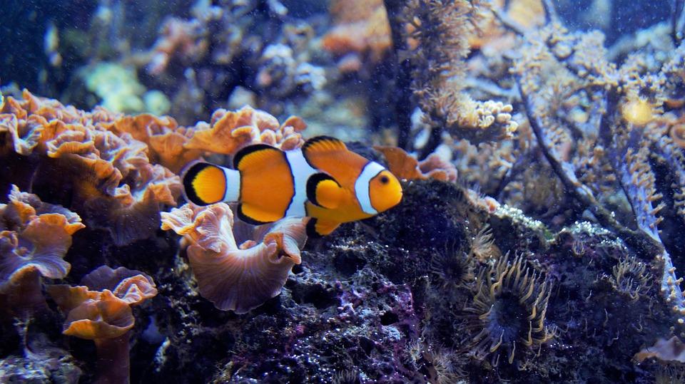 Kostenloses Foto: Nemo, Fisch, Aquarium, Wasser - Kostenloses Bild auf ...