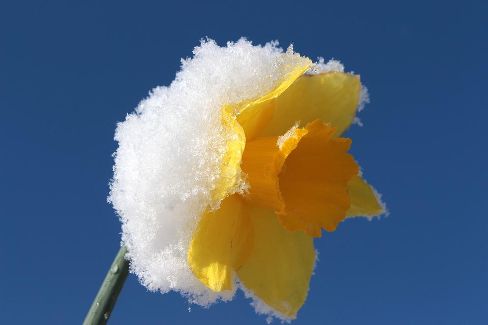 Foto gratis narciso fiore primavera giallo immagine for Narciso giallo