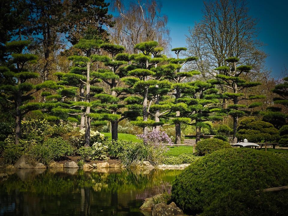 Foto gratis cedro rbol de cedro japon s imagen gratis for Arboles japoneses para jardin