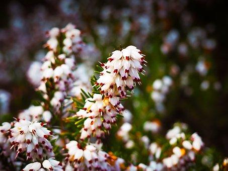 エリカの花言葉|由来/種類別花言葉/英語での花言葉