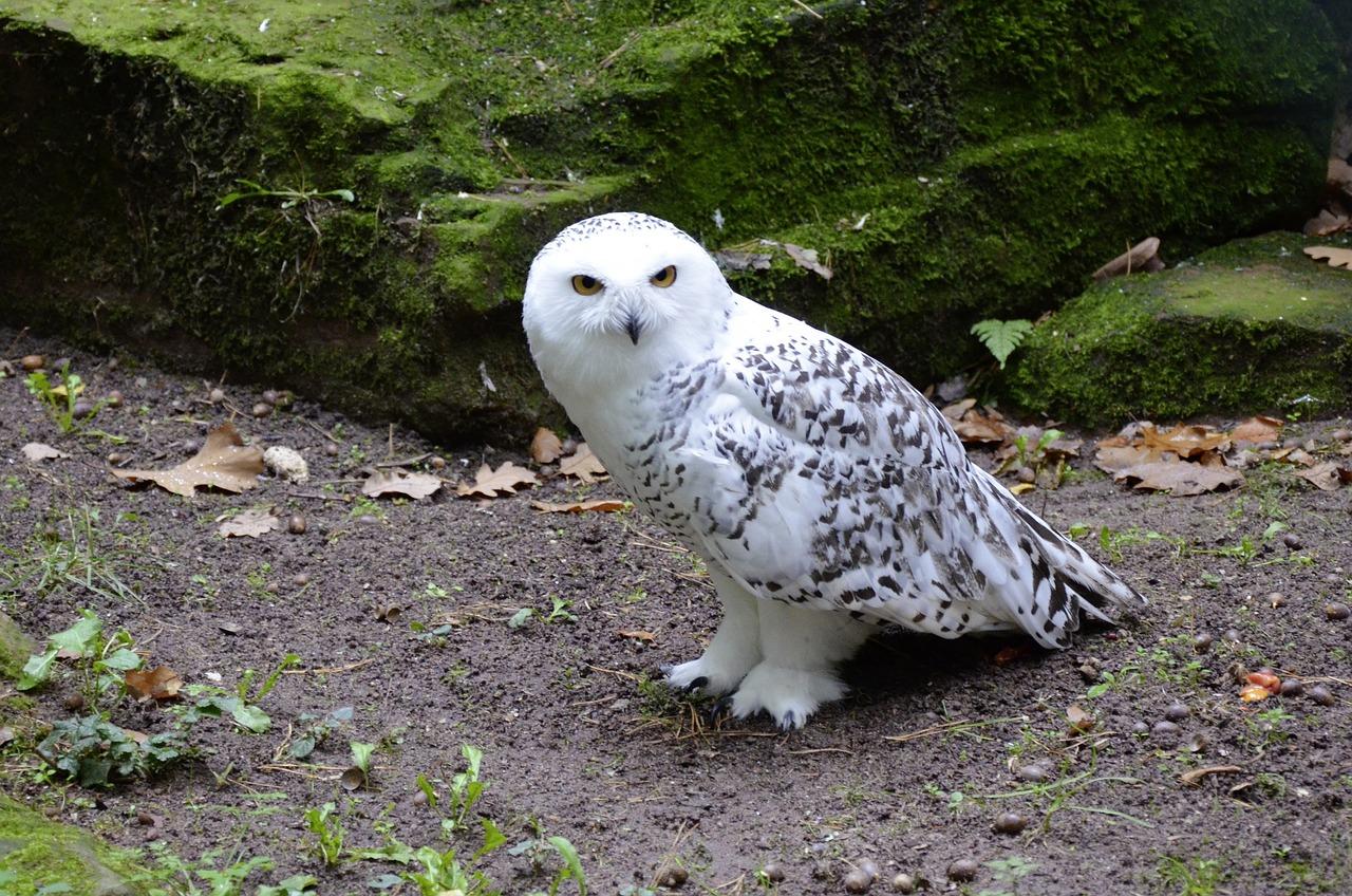 знаю полярная белая сова фото чтобы всех