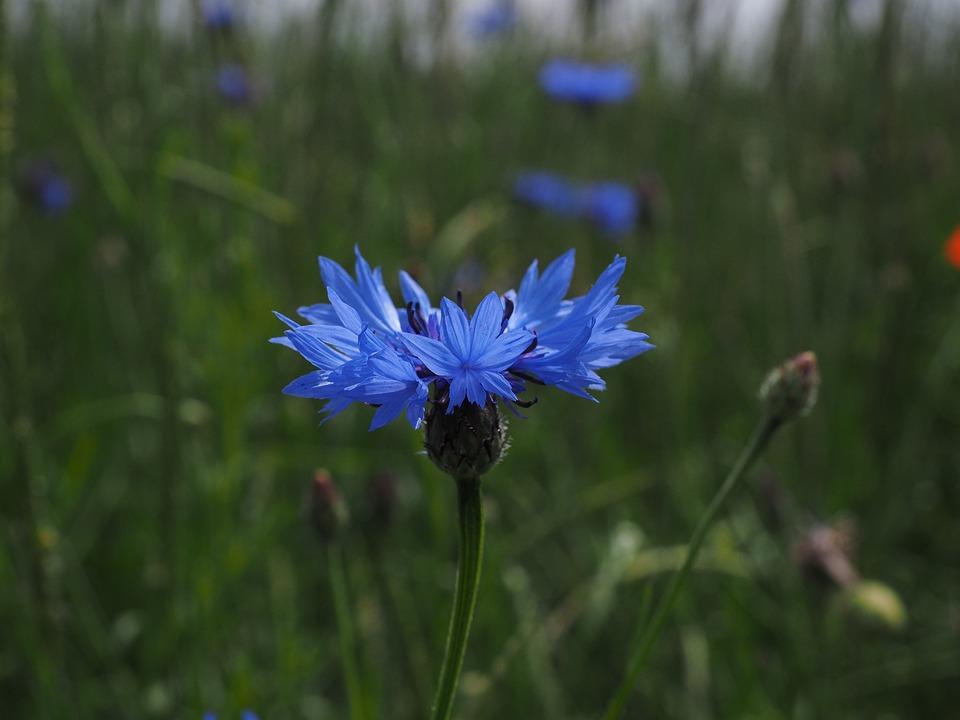photo gratuite bleuet des champs fleur bleu image gratuite sur pixabay 1355662. Black Bedroom Furniture Sets. Home Design Ideas