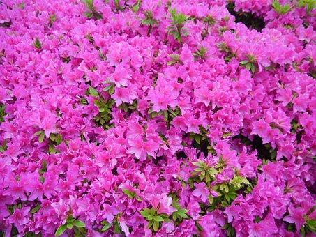 花, 五月, 皐月, 開花, 平成町, 横須賀, 神奈川県, 日本