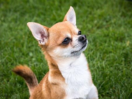 Chihuahua Puppies For Sale in Virginia