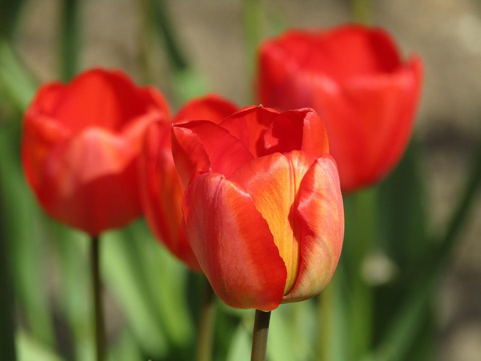 gambar bunga tulip untuk mewarnai