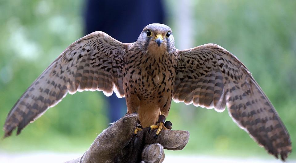 Bird Of Prey Falcon 1