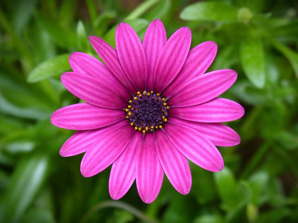 Free Photo: Purple Daisy, Flower, Beauty