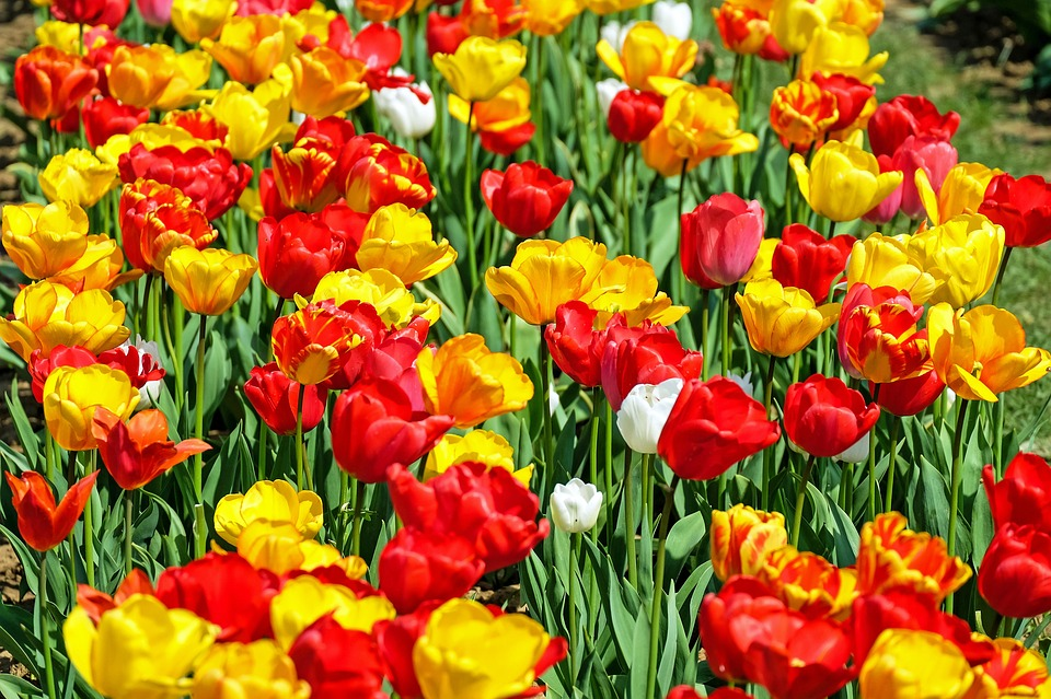 free photo tulips, flower, bloom, red, yellow  free image on, Natural flower