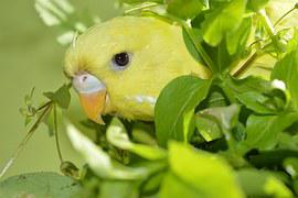 Can Parakeets Eat Canary Food