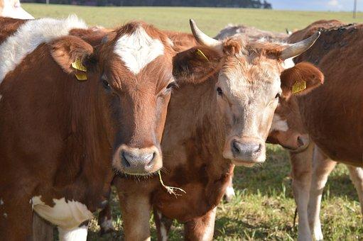 Cow, Beef, Horns, Simmental Cattle