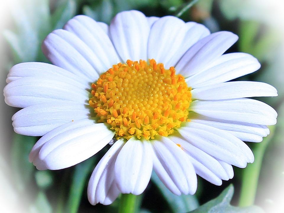 Marguerite fleur incompl te photo gratuite sur pixabay - Image fleur marguerite ...