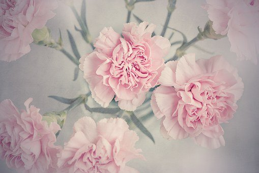 Cloves, Flowers, Pink, Carnation Pink