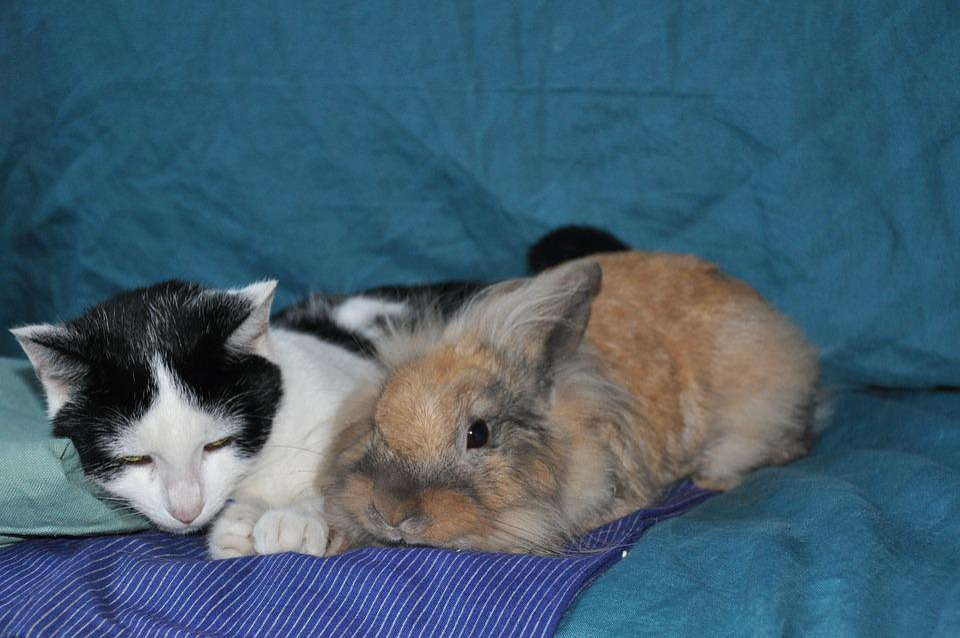 Cat, Black And White, Rabbit, Roux, Feline, Animals