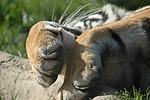 tiger, paw, nap