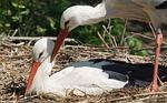 stork, scrim, white stork