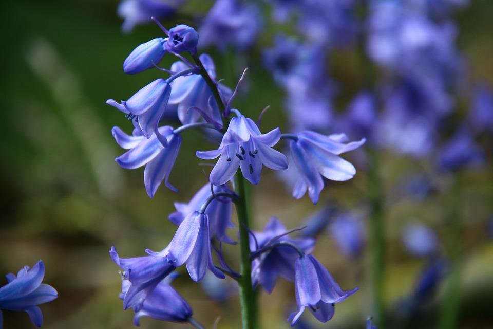 Kostenloses Foto: Glockenblume, Glocken, Blau - Kostenloses Bild