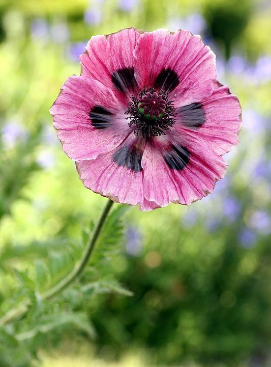 pink, flower  free images on pixabay, Beautiful flower