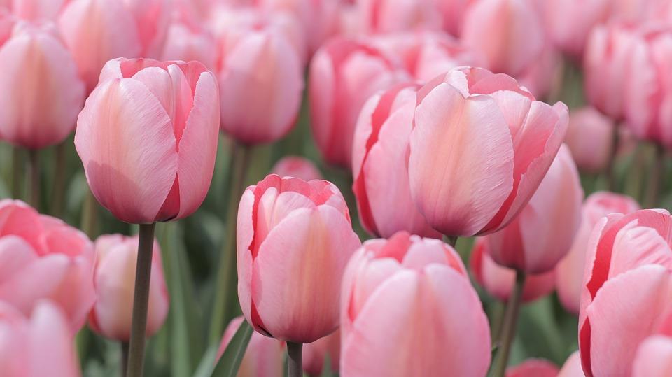 Foto gratis: Tulipanes, Color De Rosa, Campo - Imagen