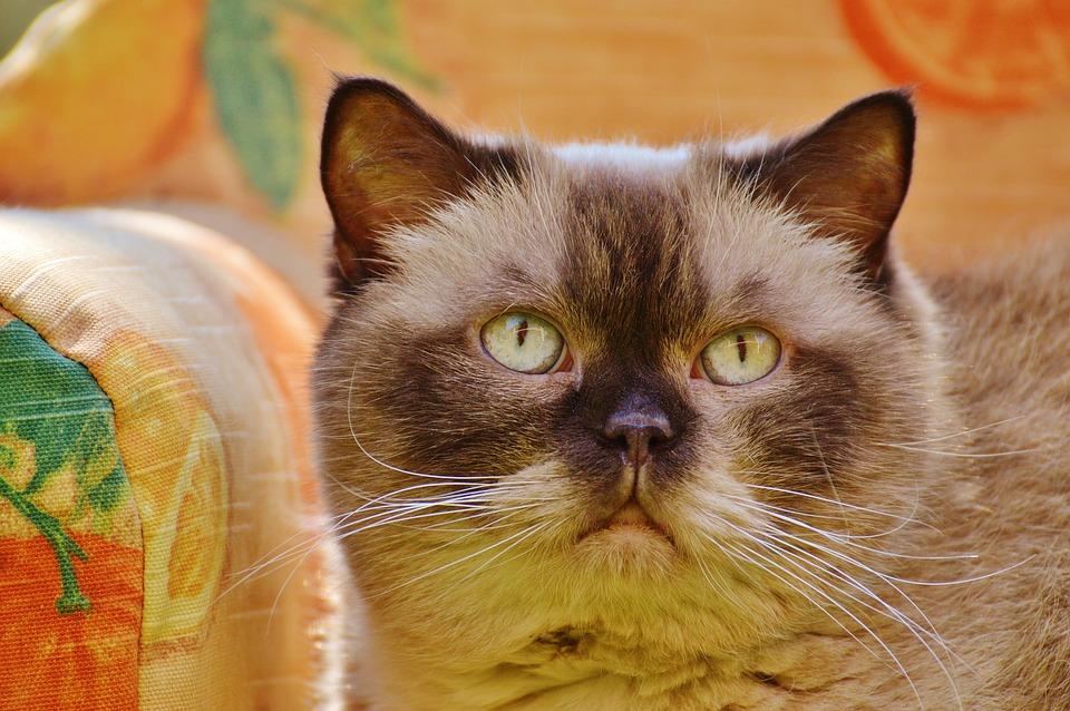 ac14764ece93 Καναπέ Γάτα Βρετανική Κοντότριχη - Δωρεάν φωτογραφία στο Pixabay